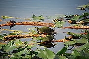 This is a photograph of different species of turtles at Wakodahatchee Wetlands in Delray Beach, Florida.