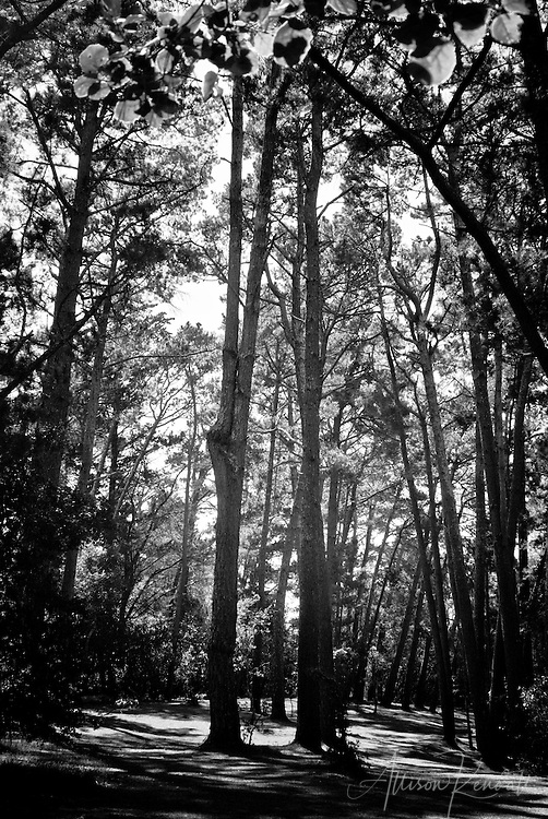 Towering trees create a dappled cathedral of light and shadow on a forest walk