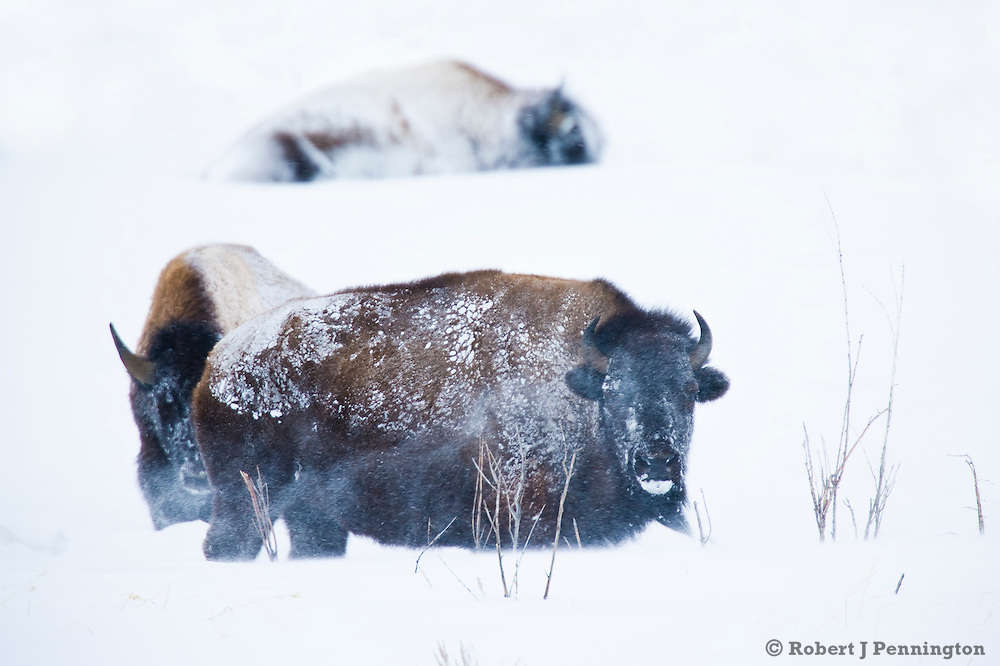 Bison hunker down in the cold, their coats covered in snow along the Gros Ventre River near the Grand Tetons.