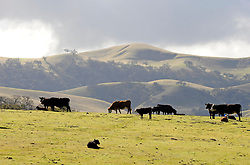 Cows graze on the hillsides of  Corral de Tierra just before Christmas, the height of 2012's rainy season.