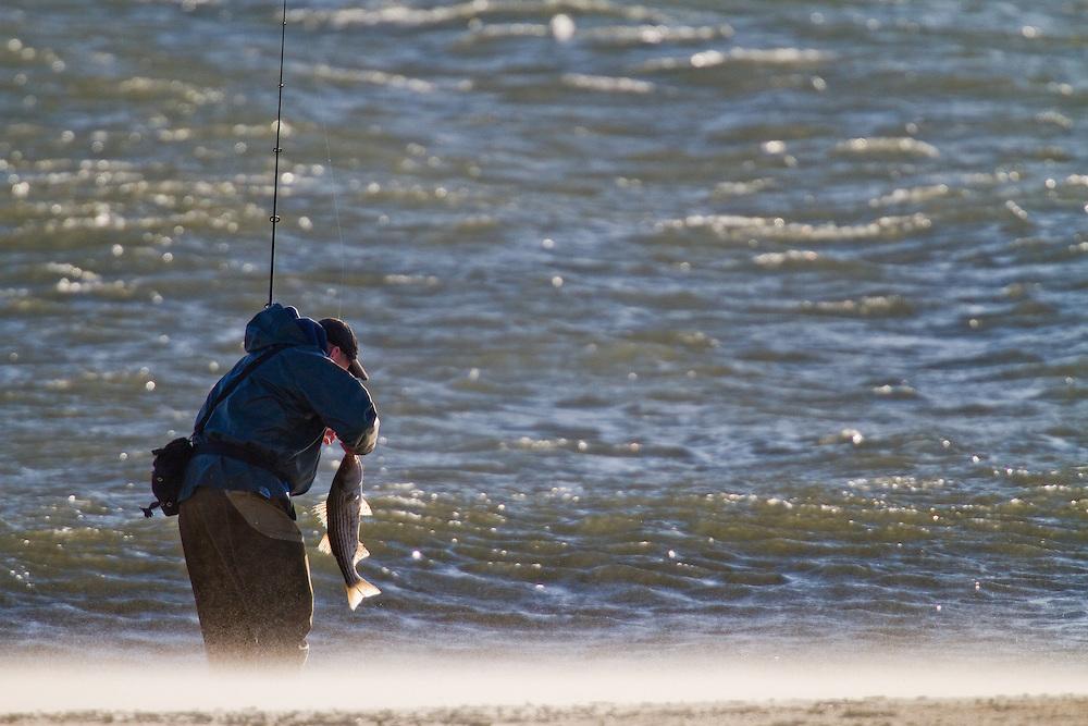A Fisherman walks along a sand blown beach unhooks a small striped bass.