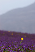 Death Valley after a one in a hundred years rain fall event creating a blanket of flowers with a dry desert back drop.