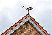Nederland, Leuth, 14-8-2015Een ooievaar zit op de nok van een dak.FOTO: FLIP FRANSSEN/ HOLLANDSE HOOGTE
