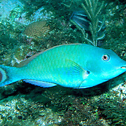 Redtail Parrotfish commonly in shallow areas of coral rubble and seagrass, occasionally on reefs, scrape filamentous algae from hard substrates in Tropical West Atlantic; picture taken Roatan, Honduras.