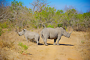 The white rhinoceros or square-lipped rhinoceros (Ceratotherium simum) is the largest and most numerous species of rhinoceros that exists. It has a wide mouth used for grazing and is the most social of all rhino species.