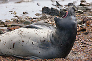 "A female southern elephant seal raises its head, opens its mouth and ""barks"" on a beach in the Falkland Islands"