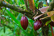 Cocoa Tree, Theobroma Cacoa, Hawaii Tropical Botanical Garden, Hilo, Hamakua Coast, Big Island of Hawaii