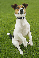 Jack Russell terrier sitting up front view
