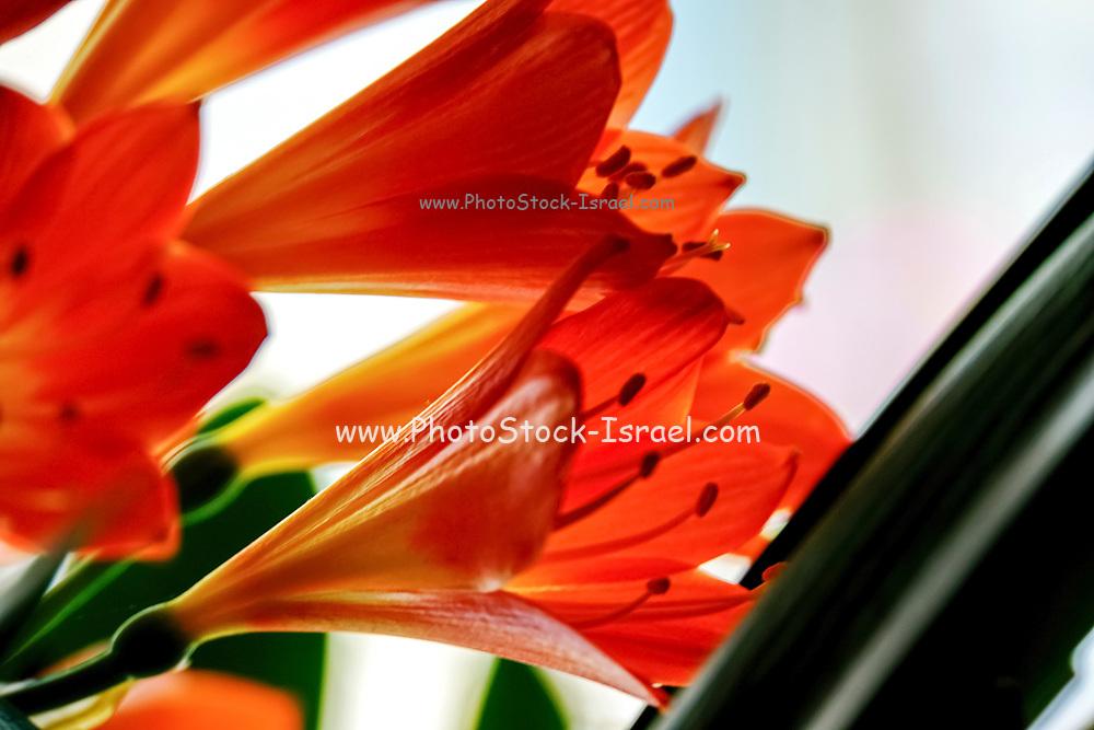 Blooming Orange Amaryllis with a white background