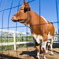 Guernsey cow seen through a fence in a farm, Florida USA