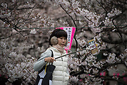A woman takes a selfie in front of the cherry blossoms at Nakameguro in Tokyo on April 3rd. The cherry blossom season in Japan kicks off boozy parties across the country and draws tourists from far and wide. 03/04/2017-Tokyo, JAPAN