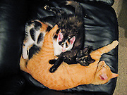 Cats cuddle on a black leather couch, in New Zealand, North Island.