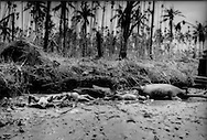Corpses of victims washed up on the Pyapon River bank mingle with those of domesticate animals deep in the Irrawaddy River Delta, Burma (Myanmar).