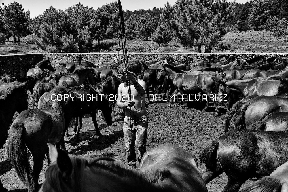 "One cowboy is trying to catch a wild horse in the ancient round up horses in Valga, Oia, Pontevedra. Galician wild horses (Equus ferus atlanticus) is one of the most old kind of horses studied by different universities. The horses live all the year in the mountains of Serra da Groba in a wild state. Once per year owners of horses round up in a space (rapa das bestas and curro) to cut hair and disinfection. This year the Galician Government obligate to the farmers and owners to put a micro-chip (like dogs) in each horse being controversial. A canadian company is trying to open a pit gold mine in the area using cyanid and other toxics. Voices against the mine says that wild horses will disappear if the mine start because this breed is very special for the fertilization of the ground and the ecosystem. Equus ferus atlanticus eat gorse in galician ""toxo"" (Ulex europaeus) that helps to insects, birds and other animals to survive in the mountains."