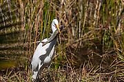 Great Egret (Ardea alba) - breakfast at Lake Muray, San Diego, CA