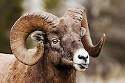 CANADA, Jasper National Park.Bighorn sheep (Ovis canadensis) sticking tongue out