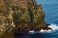 21.05.2008.Seabird cliff with black-legged kittiwake (Rissa tridactyla).Langanes peninsula, Iceland