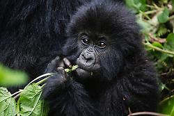 An infant mountain gorilla (Gorilla beringei beringei) playing with the vegetation, Park de Volcanoes ,Rwanda