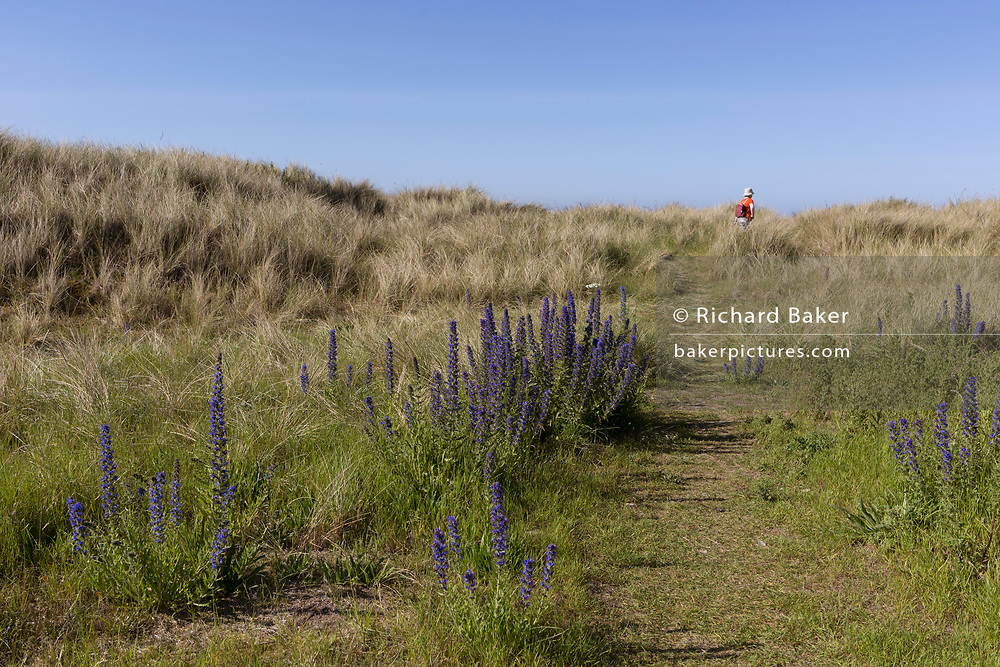 Wild flowers and a solitary walker in the western dunes on Holy Island, on 27th June 2019, on Lindisfarne Island, Northumberland, England. The Holy Island of Lindisfarne, also known simply as Holy Island, is an island off the northeast coast of England. Holy Island has a recorded history from the 6th century AD; it was an important centre of Celtic and Anglo-saxon Christianity. After the Viking invasions and the Norman conquest of England, a priory was reestablished.