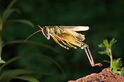 an adult female two-striped grasshopper (melanoplus bivittatus) jumping. Dechutes National Forest, Oregon.