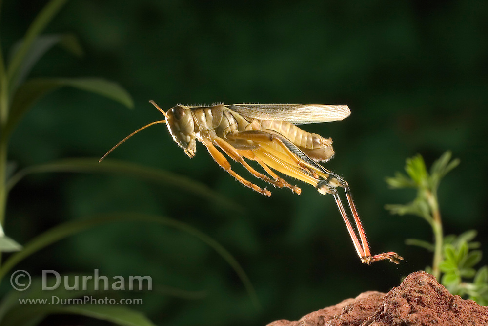 an adult female two-striped grasshopper (melanoplus bivittatus) jumping. Dechutes National Forest, Oregon.