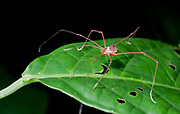An unidentified harvestman from LaSelva, Ecuador.