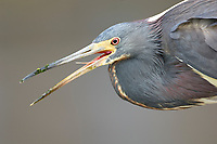 Tricolored Heron (Egretta tricolor),   Green Cay Nature Centre, Delray Beach, Florida, USA   Photo: Peter Llewellyn