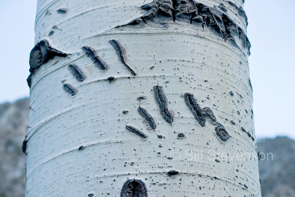 A picture of Brown Bear claw marks on an aspen tree.