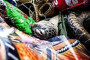 La tortue, symbole des produits de la mer, est offerte en don au clan de l'homme. Celle-ci sera chargée dans les véhicules avec les ignames, les étoffes, les nattes et les autres dons qui sont emportés jusqu'à la tribu de l'homme.  - Mariage Kanak  - Tribu de Méhoué, Canala – Nouvelle Calédonie – Septembre 2013