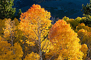 Fall aspen near Virginia Lakes, Humboldt-Toiyabe National Forest, California USA
