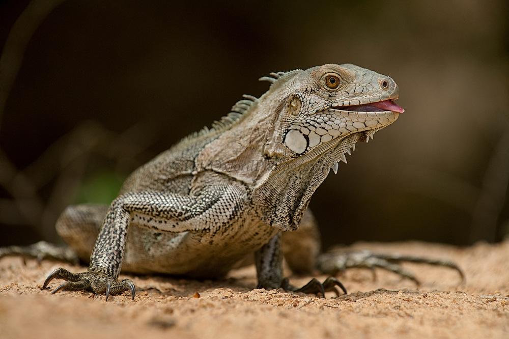 Green Iguana (Iguana iguana)<br /> Karasabai<br /> Rupununi<br /> GUYANA<br /> South America