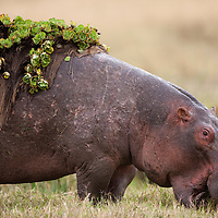 Africa, Kenya, Masai Mara Game Reserve,  Hippopotamus (Hippopotamus amphibius) feeding with mat of vegetation stuck to its back
