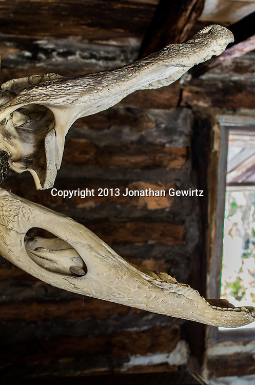 Side view of an alligator skull mounted on a wall at the Trapper Nelson Historical Site on the Loxahatchee River in Jonathan Dickinson State Park, Florida. WATERMARKS WILL NOT APPEAR ON PRINTS OR LICENSED IMAGES.
