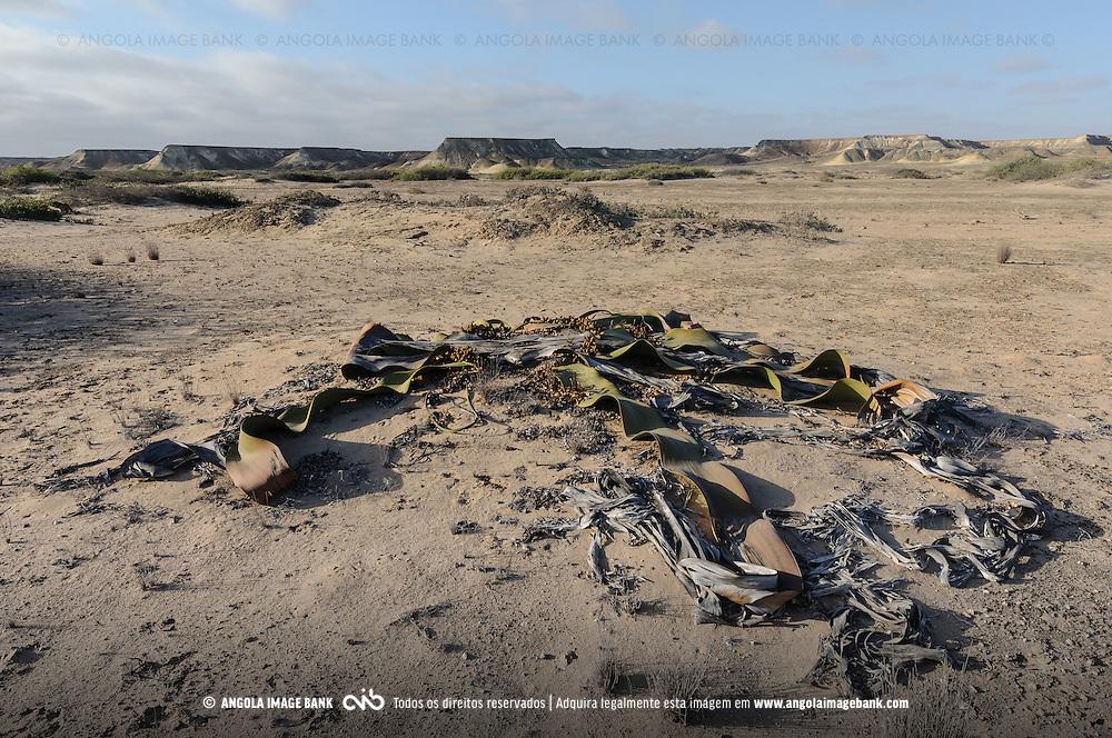 A Welwitschia (Welwitschia mirabilis) no deserto do Namibe. Província do Namibe, Angola