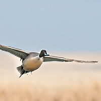 northern pintail drake single flying, taking off from water,