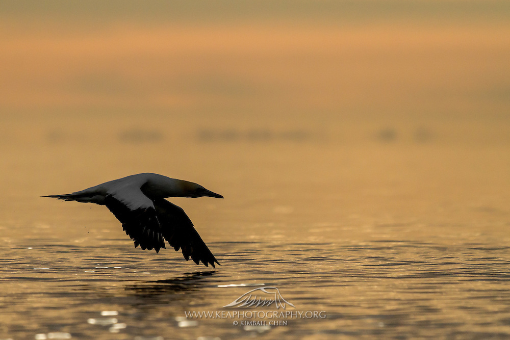 At sunset, an Australasian Gannet skims across the surface of the calm waters at Golden Bay, near Puponga Point, New Zealand.