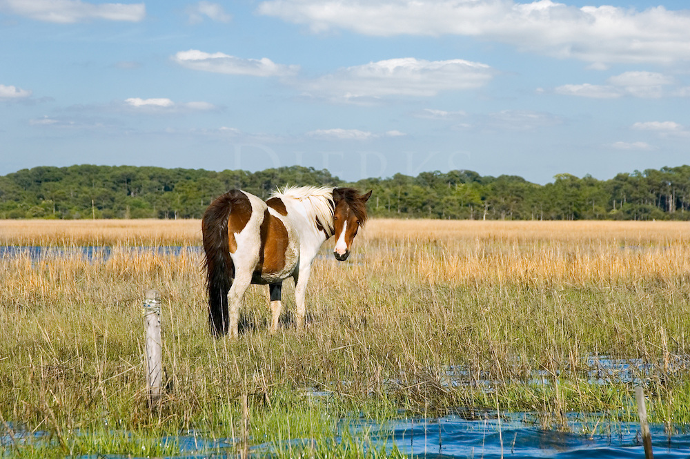 Stock photo of a wild pony on the salt water tidal flats near Assateague Island, low tide at Chincoteague, Virginia, VA. Photographed from a boat without telephoto.