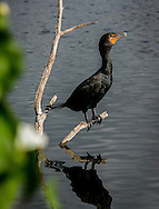 Double-crested Cormorants are large waterbirds with small heads on long, kinked necks. They have thin, strongly hooked bills, roughly the length of the head. Their heavy bodies sit low in the water.