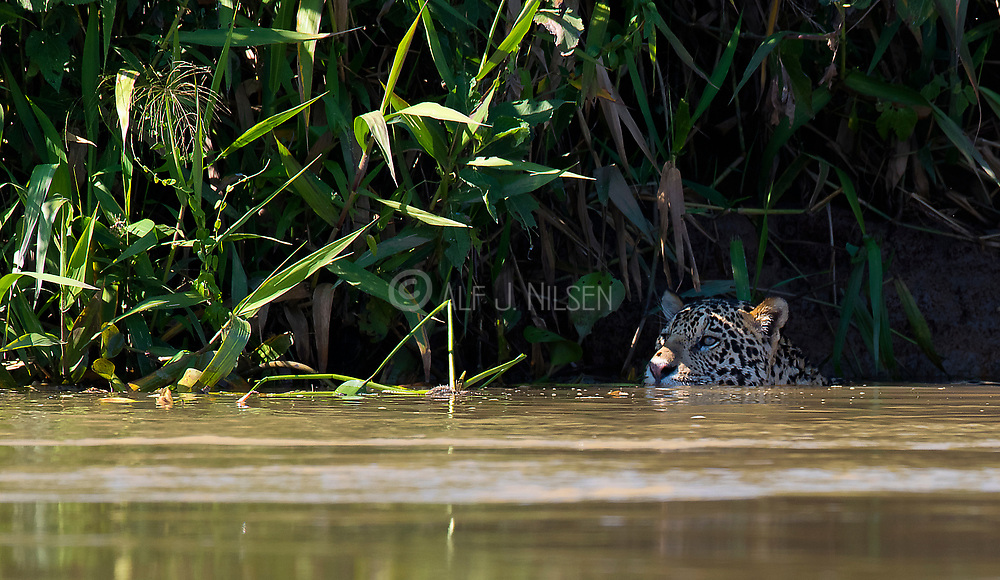 Jaguar (Panthera onca palustris) swimming in Cuiabá River, Pantanal, Brazil.