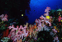 A golden damselfish swims among colorful soft corals.  The colors in the coral are illuminated by strobes.  Without it the long red wavelengths can not reach the depths of the ocean.