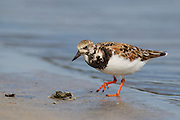 Stock photo of ruddy turnstone captured in Florida.  These active shorebirds can be seen flipping over small stones along the shore.