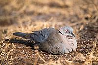 African Mourning Dove, Satara, Kruger National Park, South Africa