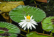 "A water lily, genus Nymphaea, blooms white & yellow in a pond at Allerton Garden, Kauai, Hawaii, USA. The genus name for water lilies, Nymphaea, is from the Greek nymphaia and Latin nymphaea, literally ""water lily,"" inspired by the nymphs mythology. Allerton Garden is on the south shore of Kauai, Hawaii, USA, at address: 4425 Lawai Rd, Koloa, HI 96756. Nestled in a valley transected by the Lawai Stream ending in Lawai Bay, Allerton Garden is one of five gardens of the non-profit National Tropical Botanical Garden (ntbg.org)."