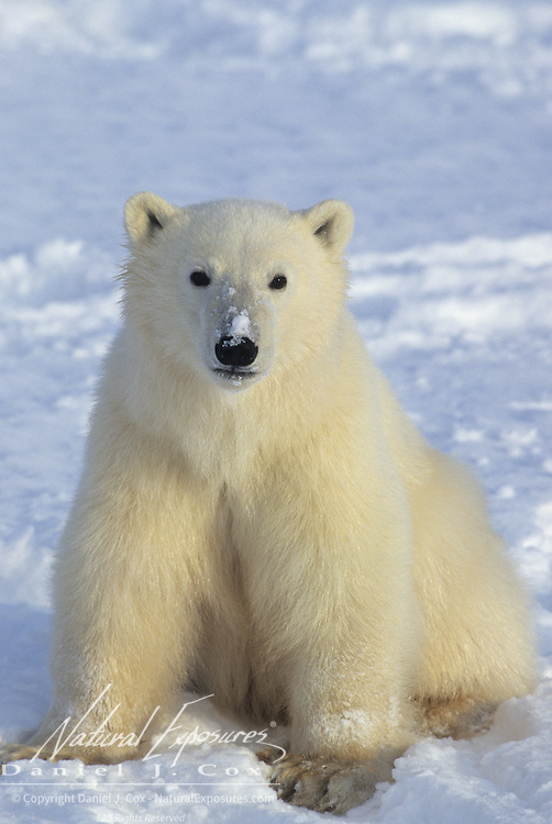 Polar Bear cub on frozen Hudson Bay. Canada
