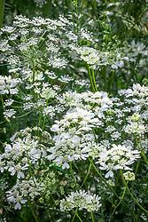 Ammi majus (Bishop's flower) with Orlaya grandiflora (White lace flower)