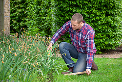 Lifting and dividing daffodils after they have finished flowering