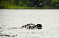 A loon preening its feathers on Lake Wicwas Monday afternoon.  (Karen Bobotas/for the Laconia Daily Sun)