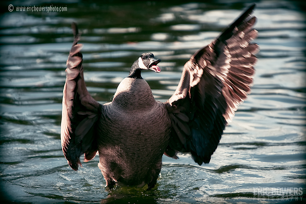 An angry goose in Loose Park.