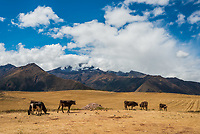 cows in the peruvian Andes at Cuzco Peru