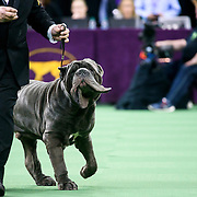 "February 16, 2016 - New York, NY : The Neopolitan Mastiff ""Ironwood's Papparazzi"" competes in the working group final of the 140th Annual Westminster Kennel Club Dog Show at Madison Square Garden in Manhattan on Tuesday evening, February 16, 2016. CREDIT: Karsten Moran for The New York Times"